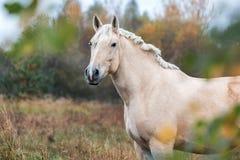 在秋天森林自然的灰色马portait,看 库存照片