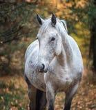 在秋天森林自然的灰色马portait,看 库存图片
