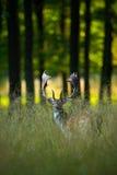 在秋天森林里吼叫庄严强有力的成人小鹿,黄鹿黄鹿,在自然动物的动物,树在背景, Fra中 库存照片