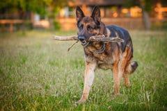 在秋天森林里的德国牧羊犬狗 免版税库存照片