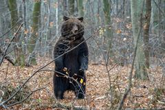 在秋天森林里负担站立在他的后腿 免版税库存图片