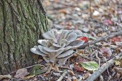 在秋天森林里采蘑菇特写镜头 免版税库存照片