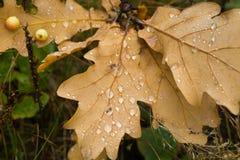 在秋天橡木的水下落留下特写镜头 免版税库存照片