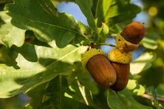 在秋天橡树的三棕色橡子 免版税库存图片