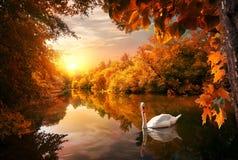 在秋天池塘的天鹅 免版税库存图片