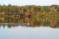 在秋天池塘的天鹅 图库摄影