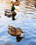 在秋天池塘的鸭子 库存照片