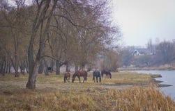 在秋天河岸吃草的马 免版税图库摄影