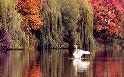 在秋天湖的天鹅 库存图片