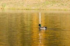 在秋天湖的德雷克风帆 库存照片