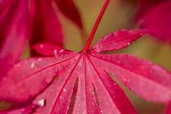 在秋天灌木的红色叶子 库存图片