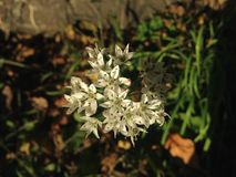 在秋天的一朵万年青Umbellatum花 免版税库存图片