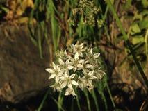在秋天的一朵万年青Umbellatum花 库存照片