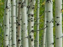 在秋天的亚斯本树干 库存图片