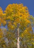 在秋天的剧烈的黄色 免版税库存照片