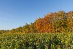 在秋天的向日葵 库存图片