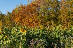 在秋天的向日葵 免版税图库摄影