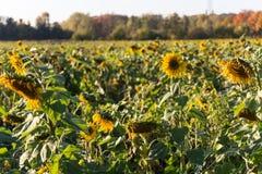 在秋天的向日葵 免版税库存图片
