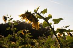 在秋天的向日葵 库存照片