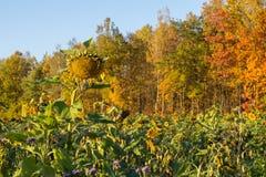 在秋天的向日葵 免版税库存照片