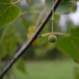 在秋天的唯一美国鹅掌楸(美国的椴树属)种子Nutlet 库存照片