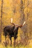 在秋天的好奇公牛麋 免版税库存照片
