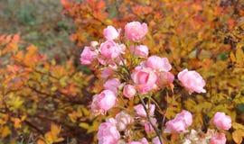 在秋天的开花的桃红色杜娟花布什 库存图片