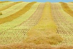 在秋天的成熟油菜领域 免版税库存照片