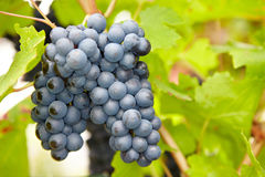 在秋天的成熟红葡萄酒葡萄 免版税图库摄影