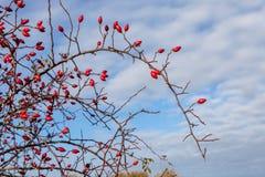 在秋天的成熟dogrose莓果 免版税图库摄影