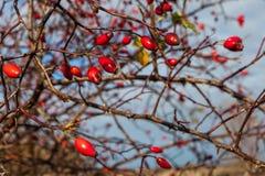 在秋天的成熟dogrose莓果 免版税库存照片