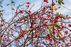 在秋天的成熟dogrose莓果 图库摄影