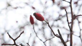 在秋天的成熟dogrose莓果 影视素材