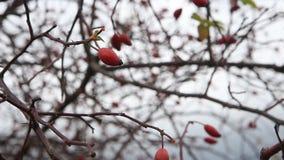 在秋天的成熟dogrose莓果 股票视频
