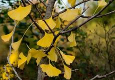 在秋天的明亮的黄色银杏树叶子 库存图片