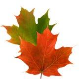 在秋天的枫叶颜色 库存照片