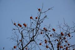 在秋天的柿子 库存图片