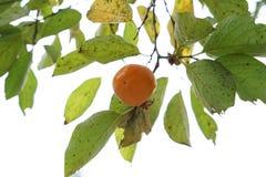 在秋天的柿树 库存图片