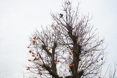 在秋天的柿树 免版税库存图片