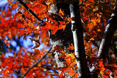 在秋天的树与通过发光的太阳 库存图片