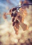 在秋天的桤木锥体 免版税图库摄影