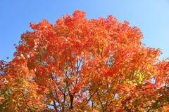 在秋天的榆树 免版税库存照片