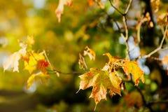 在秋天的槭树叶子 库存照片