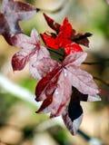 在秋天的槭树叶子 免版税库存图片