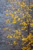 在秋天的槭树在一个石墙旁边 免版税库存照片
