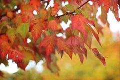 在秋天的槭树 免版税库存照片