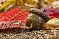 在秋天的橡子 图库摄影