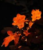 在秋天的橡树叶子特写镜头  免版税库存照片