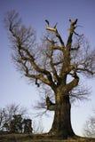 在秋天的橡树 库存图片