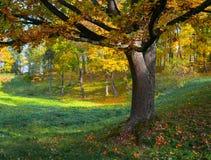 在秋天的橡树 免版税库存图片